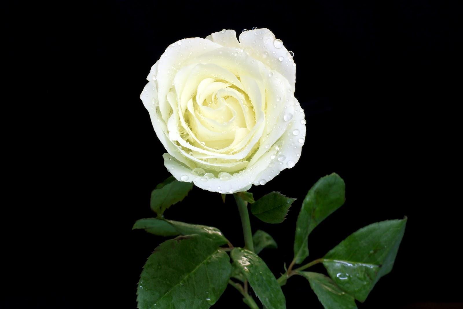 Imagenes De Rosas Blancas Hermosas - Las Flores mas hermosas del mundo Taringa!