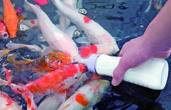 Deformutilation bottle feeding koi for What to feed baby koi
