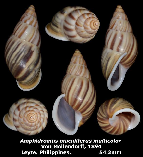 Amphidromus maculiferus multicolor 54.2mm