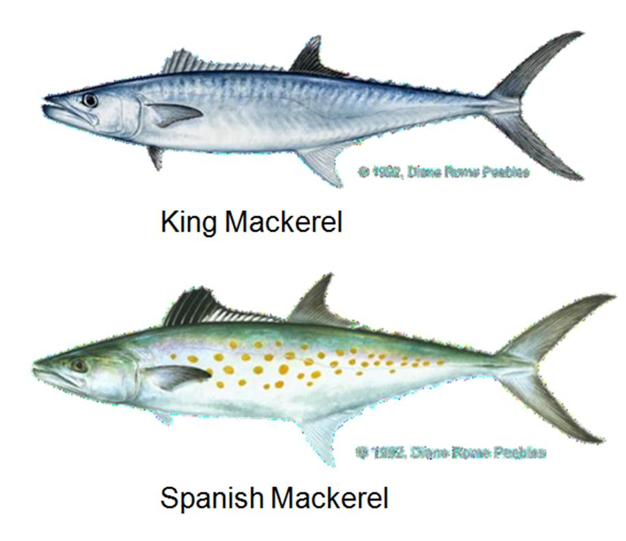 Stay in touch with collier county 39 s sea grant extension for Spanish mackerel fish