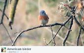 American Birder