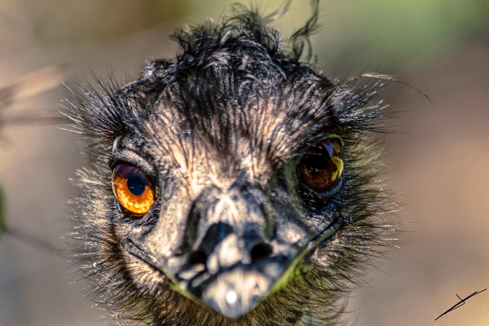 Fotografía en primer plano de un Emú en libertad
