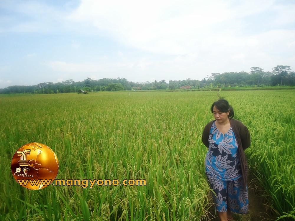 FOTO : Istri admin sedang survey padi di sawah Bakan Bandung