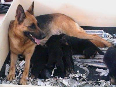 Tosa con sus cachorros