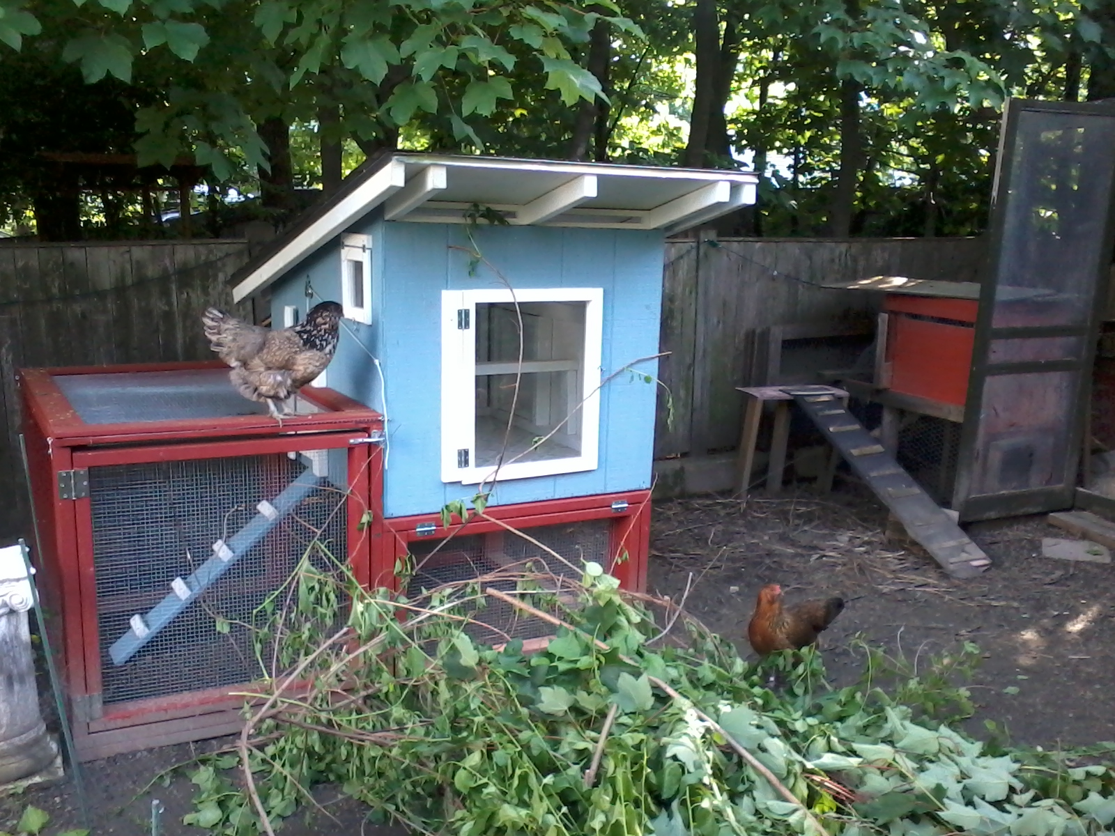 the chickeness rent a coop available now