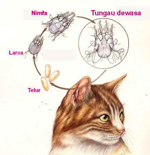 Radang telinga pada kucing