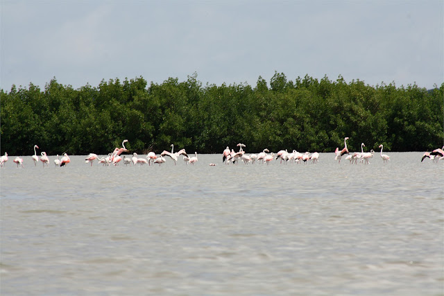 Flamingos a estribor