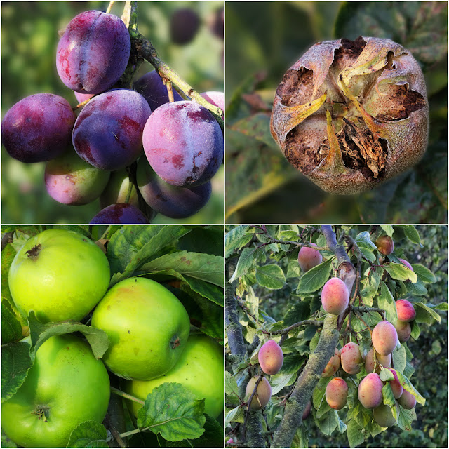 Closeup pictures of fruit on tree including types of apple and two types of plum