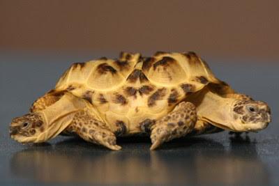 Фото Укринформ: двуглавая черепаха