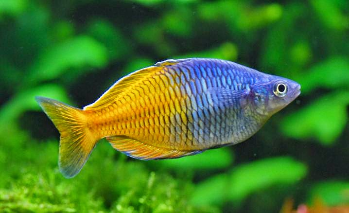 Melanotaenia boesemani aquarium info for Dwarf rainbow fish