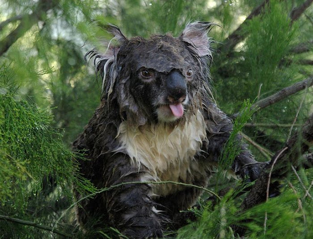This is what a wet koala looks like, wet koalas, cute koalas, koala pictures