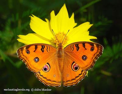 Peacock pansy [Precis almana] Butterfly