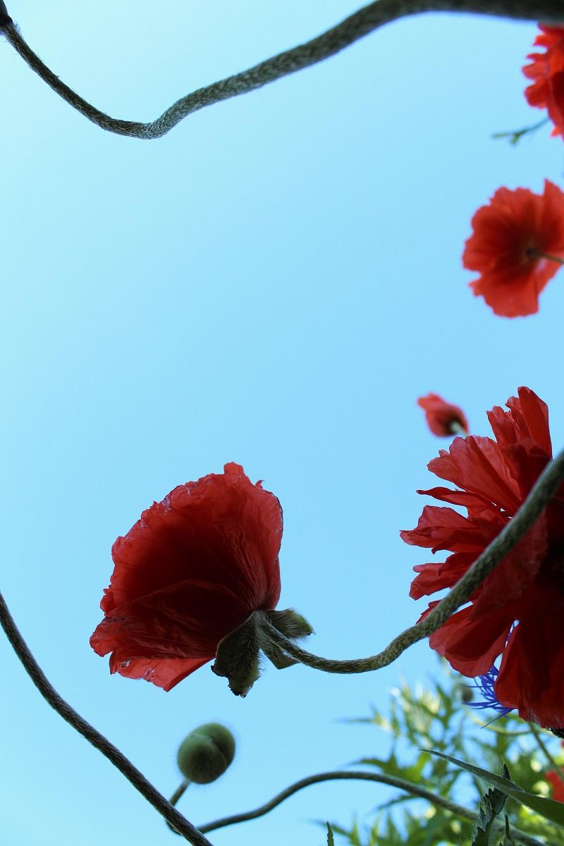 sininen taivas ja kauniit unikot