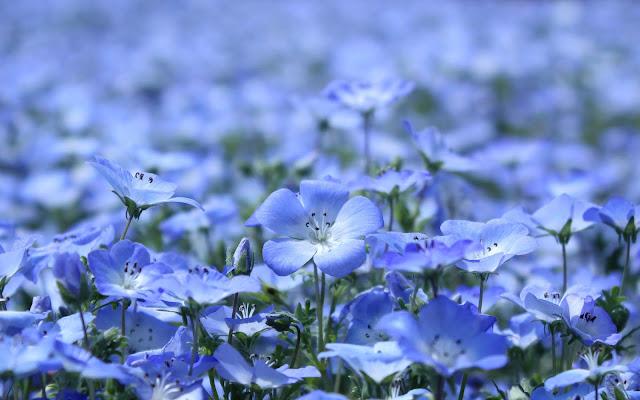 Flores Azules - Blue Flowers