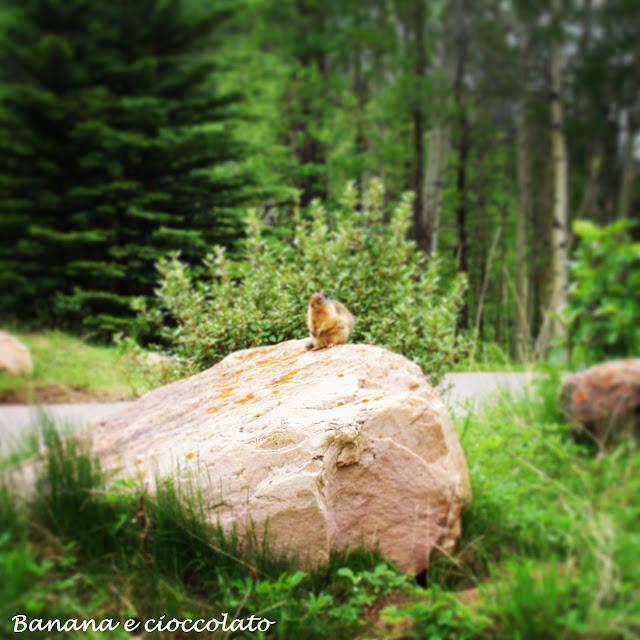 marmotta, canada