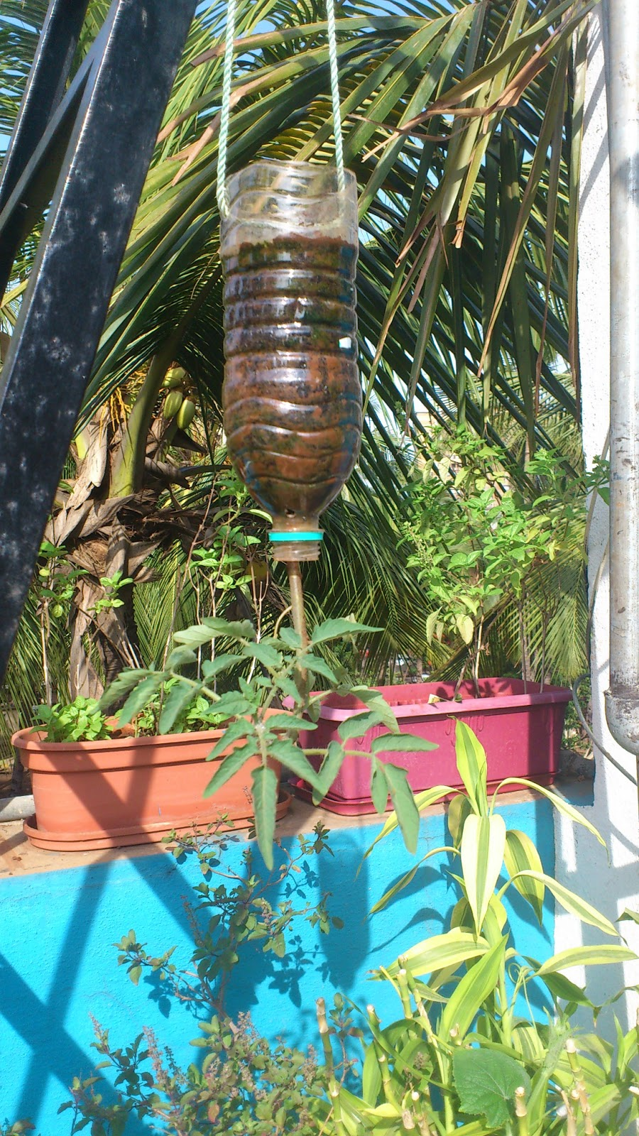 How to grow an upside down tomato plant crazy gardner - Can a plant grow upside down ...