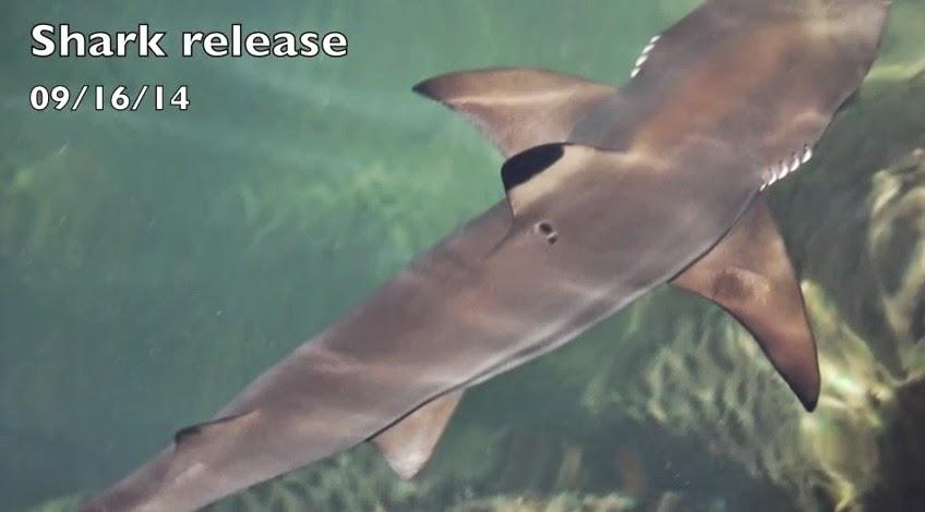 Bali Shark Release