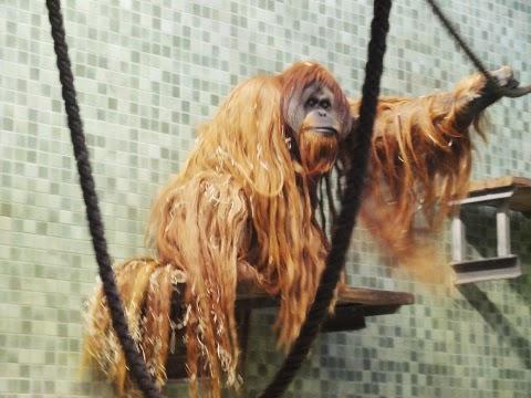 Orang utan Berlin Zoo