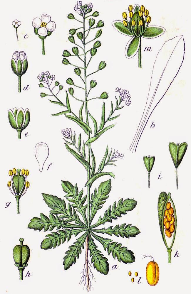 TASZNIK POSPOLITY Capsella bursa-pastoris