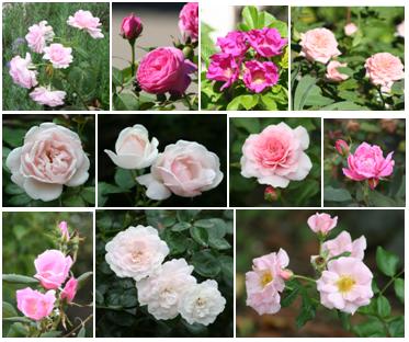 Our Garden Journal: August in the Garden ~ GBBD for August 15, 2011