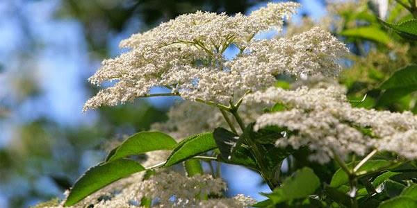 """""""Sambucus nigra"""", imagen de la floración del saúco"""