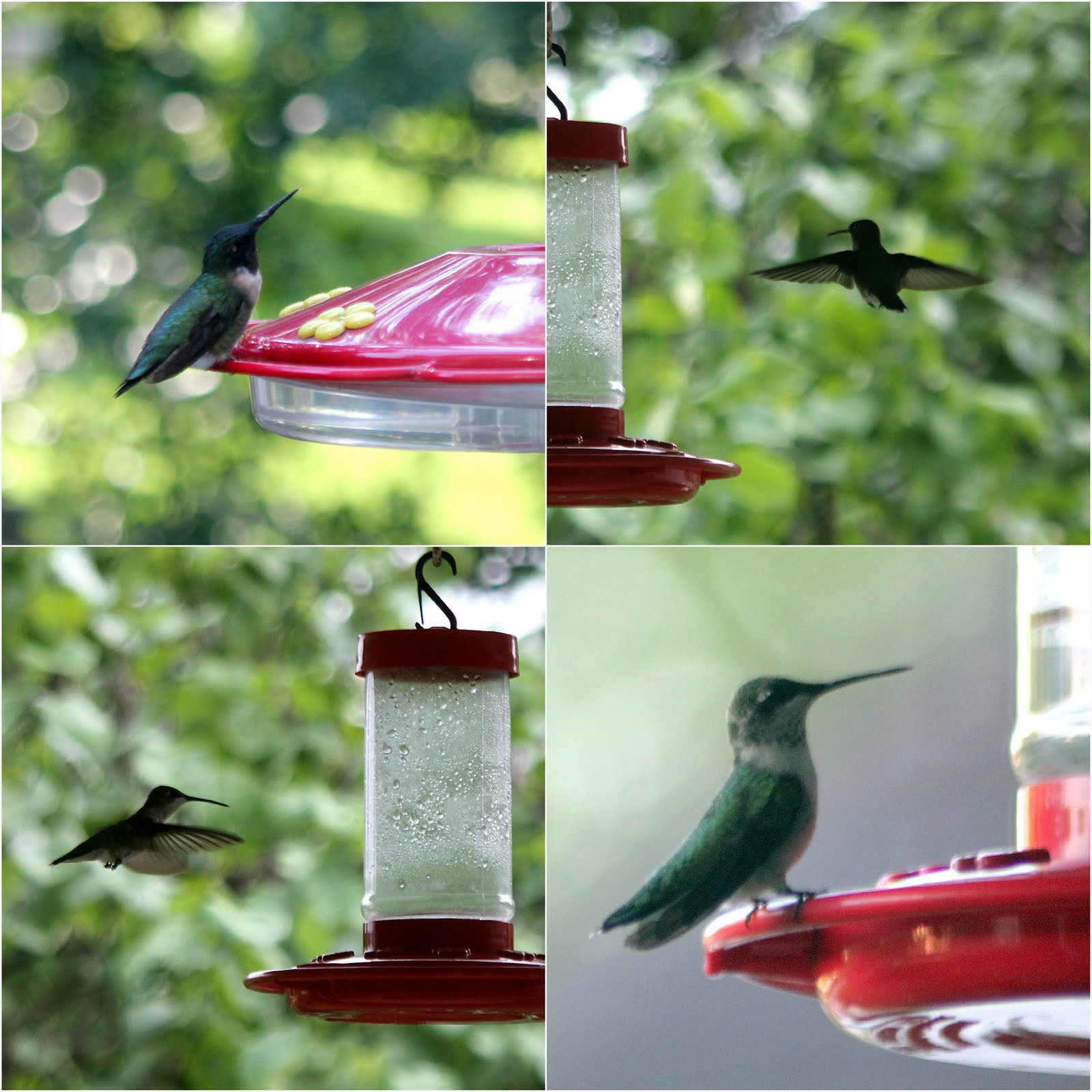 Amazing Hummingbirds Amp Sugar Water Recipe For Feeders