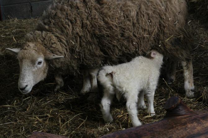 Suckling lamb