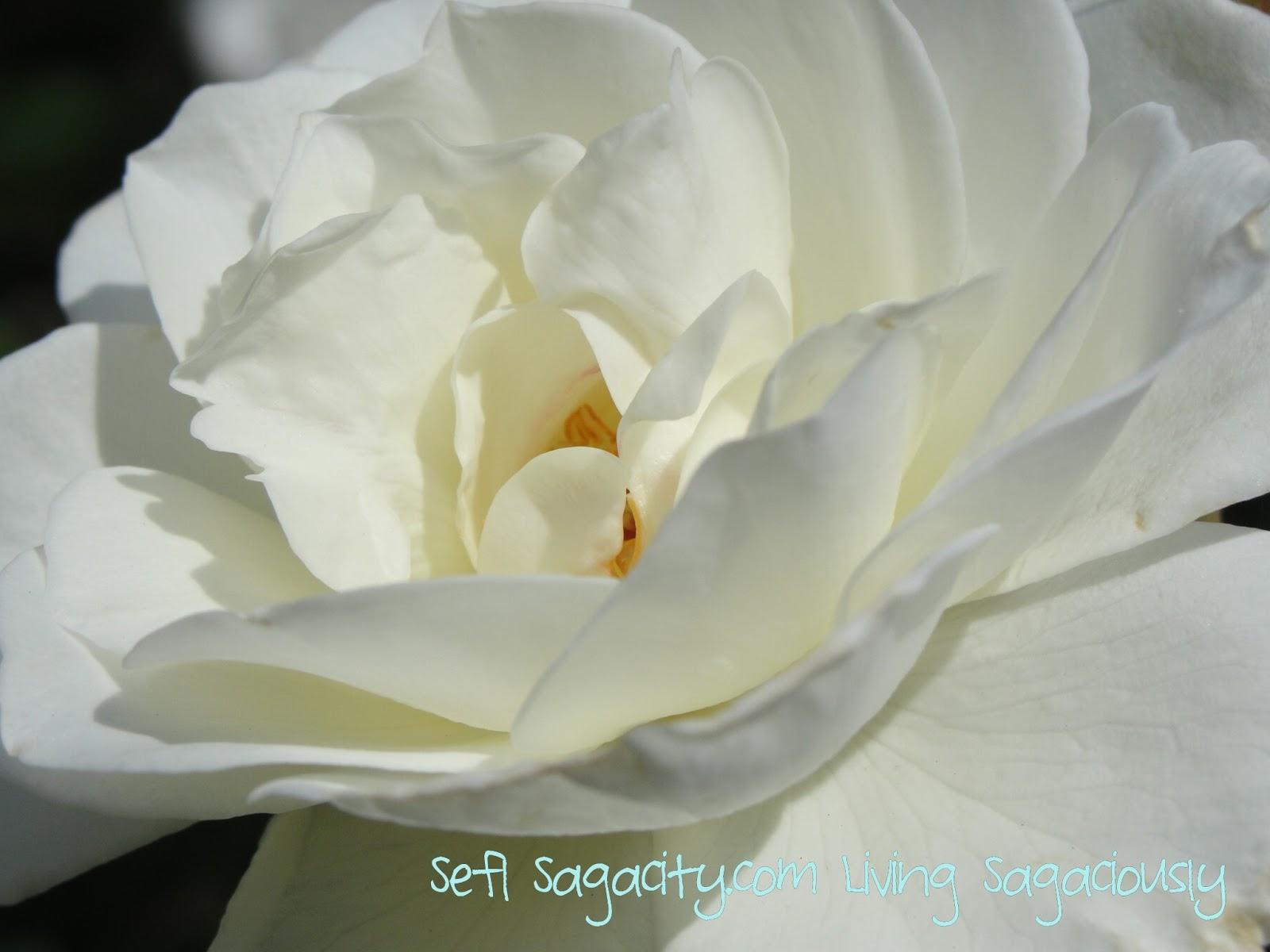 White Carpet Roses Self Sagacity