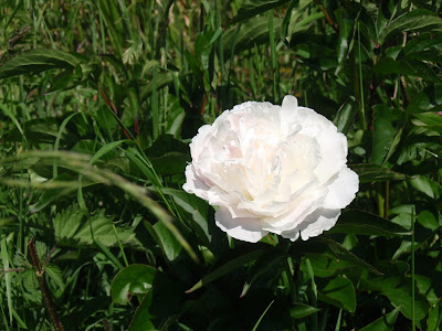 Our first white peony