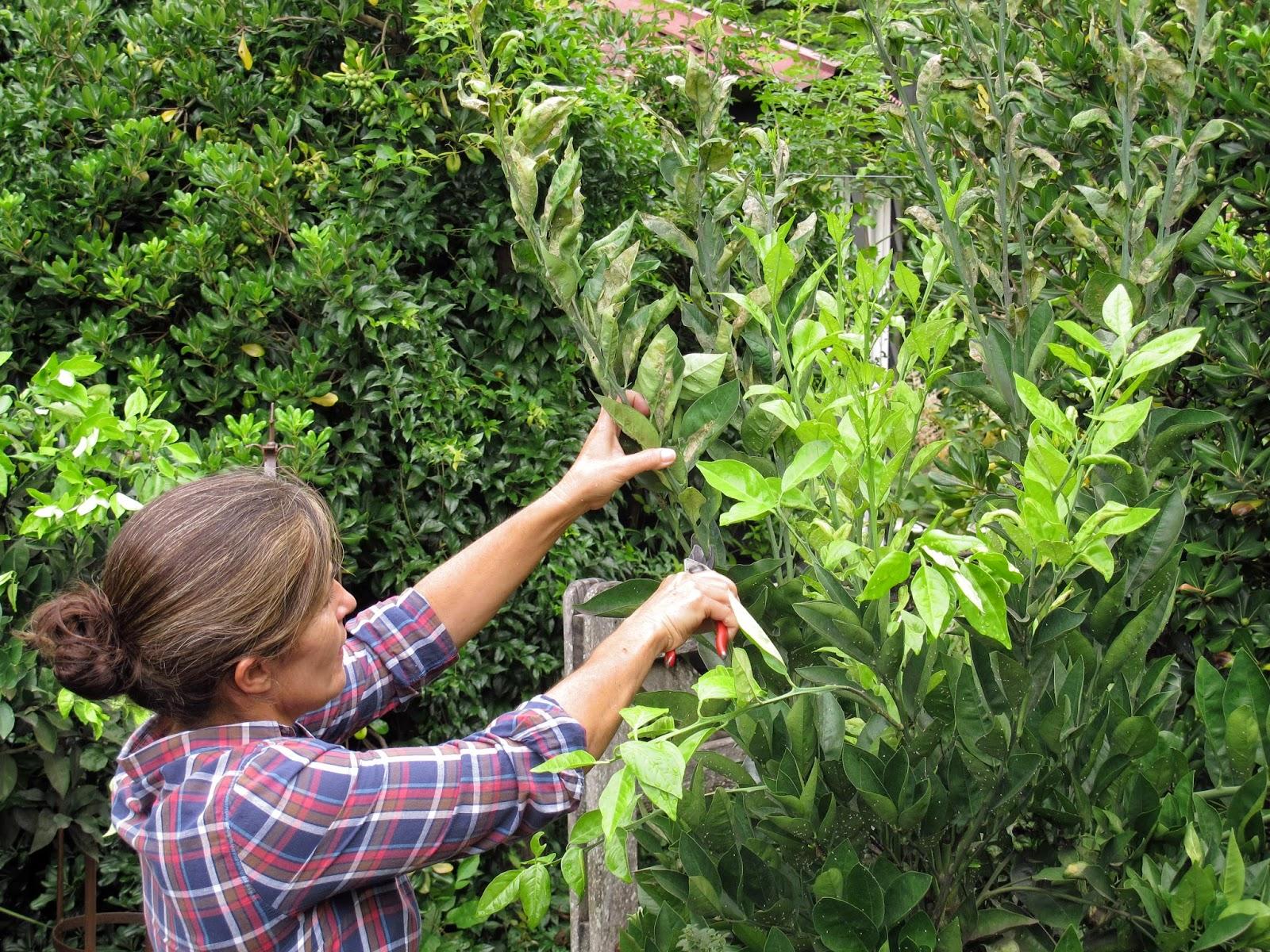 En el jardin c tricos cuidados y plagas de verano for Como podar un ciruelo de jardin