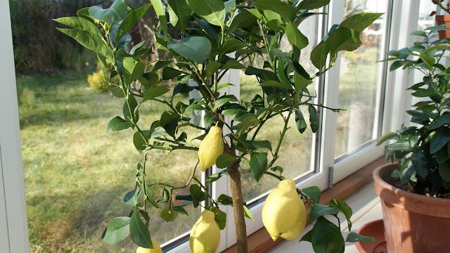 Citrontræ bilka