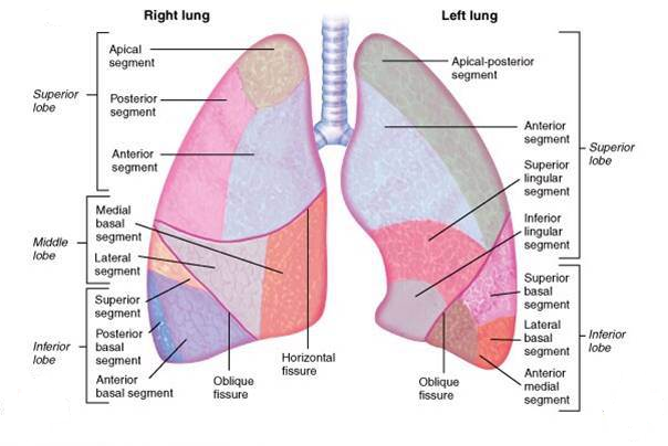 System of Right and Left Lungs in Human Body School Sylabus