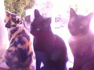 três gatos juntos gatinhos amigos fofos lindos imagens 3 cats window amigos animais cachorros