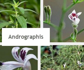 Andrographis immune boosting herb