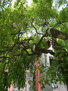 weeping scholar japanese pagoda tree at summer palace china july 2012 by garden muses: a Toronto gardening blog