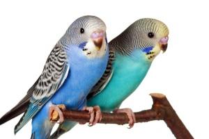 sepasang burung parkit