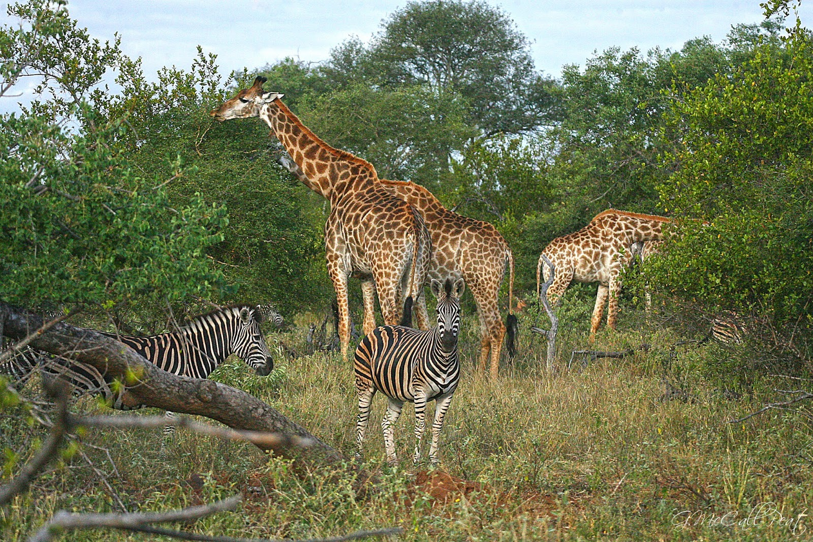 zebras and giraffes - photo #18