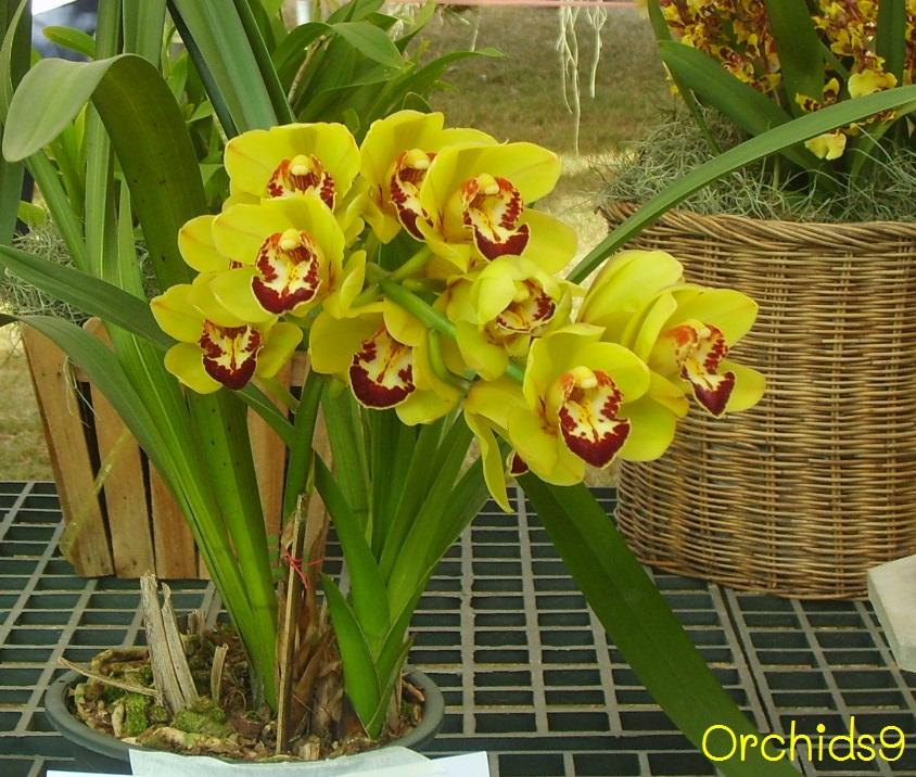 Cymbidium Orchids Hawaii Cymbidium Orchid Flowers