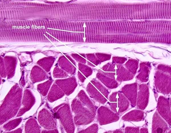 Striated skeletal muscle tissue