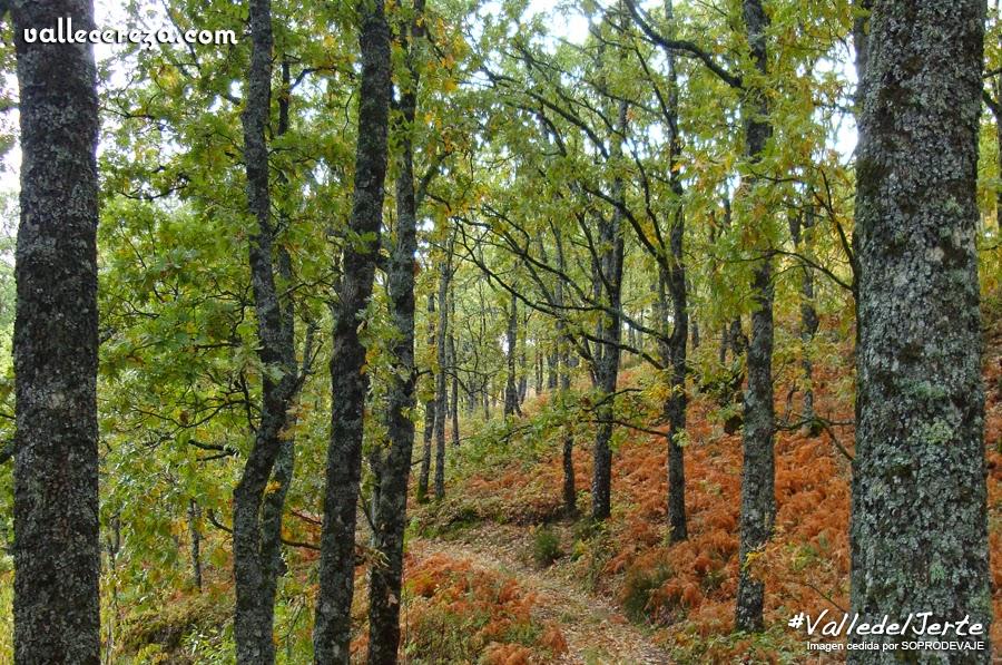 roble melojo o rebollo (Quercus pyrenaica)