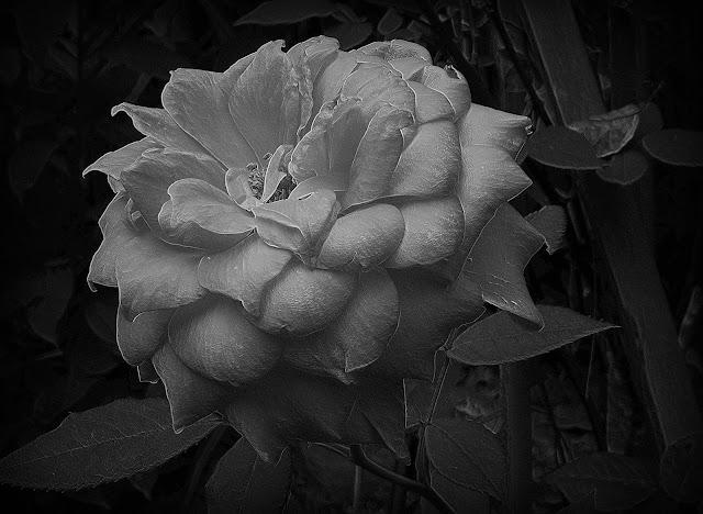 rose,macro,black & white