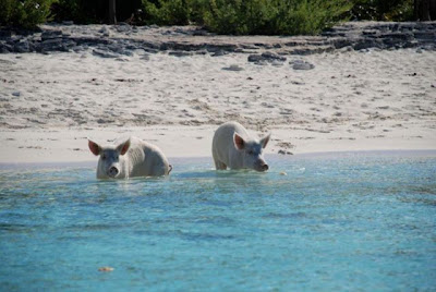 Unusual Tourists Invade Bahamas Seen On www.coolpicturegallery.us