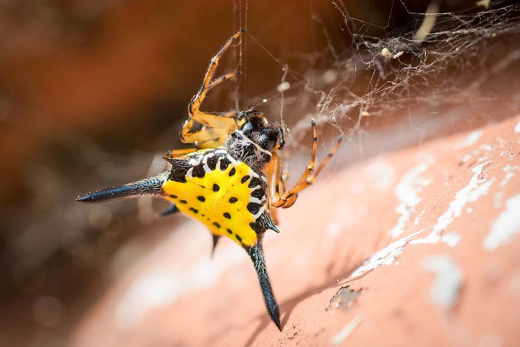 Hasselt's spiny spider, yellow body, black spines