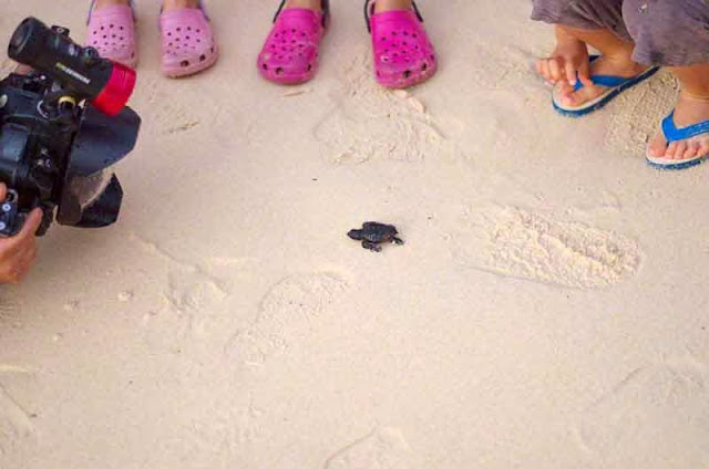 children watch cameraman and baby sea turtles