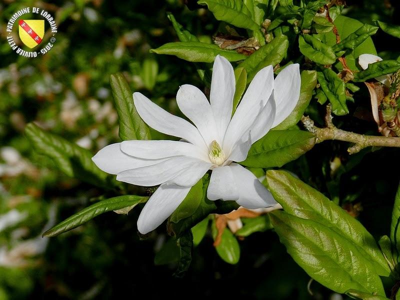 VILLERS-LES-NANCY (54) : Le jardin botanique du Montet-Magnolia étoilé