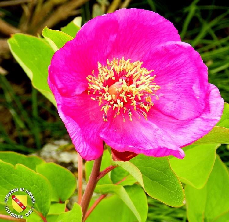 VILLERS-LES-NANCY (54) : Le jardin botanique du Montet-Pivoine coraline