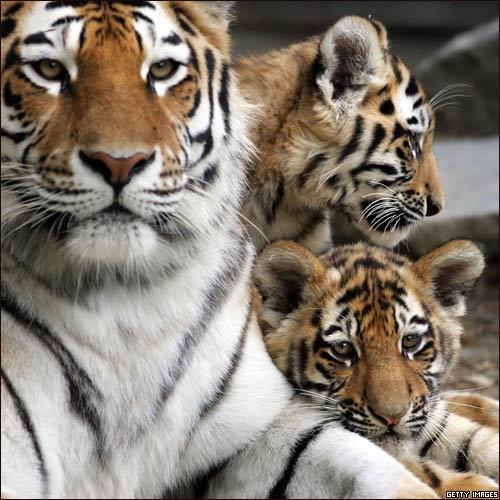 el tigre...animal hermoso (megapost)