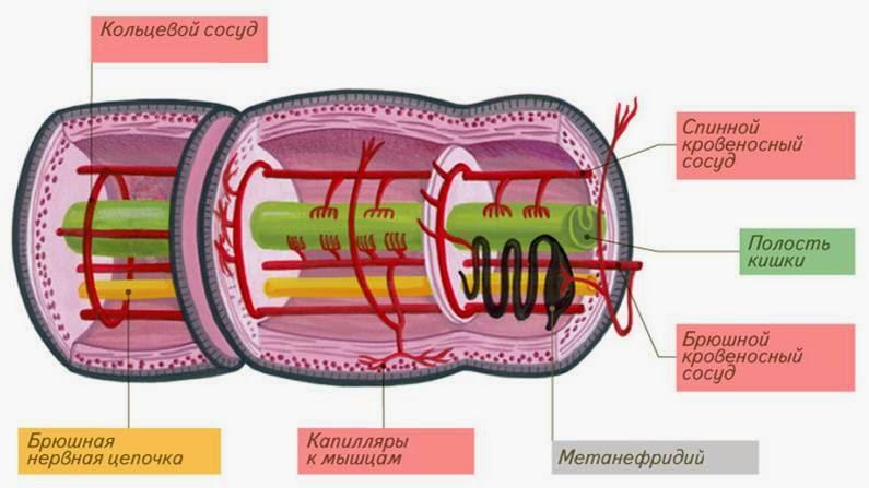 зверобой от паразитов в организме