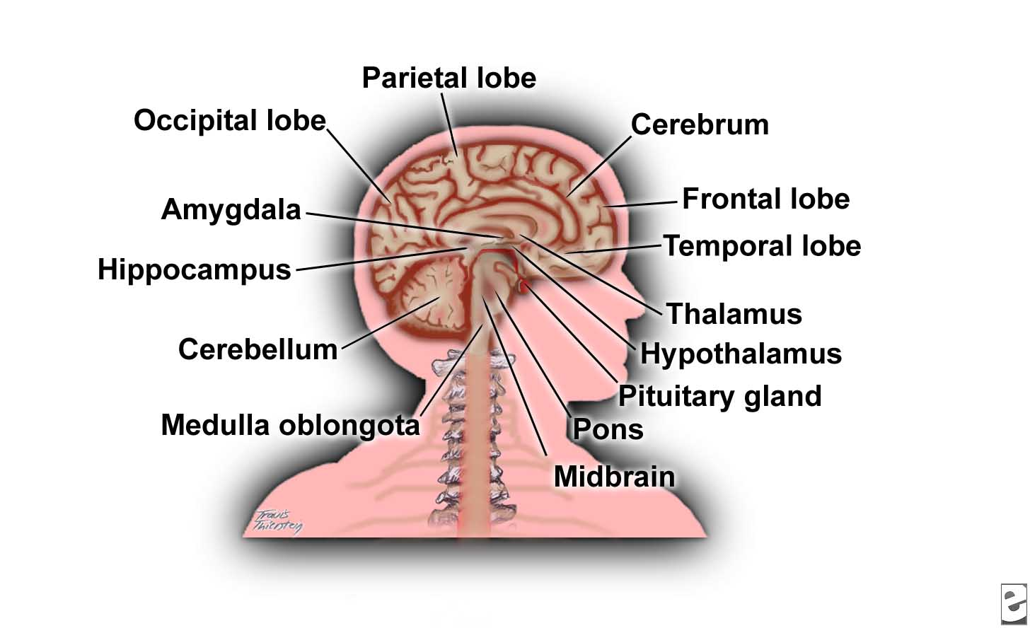 Related: Brain Diagram Labeled , Blank Brain Diagram , Simple Brain ...