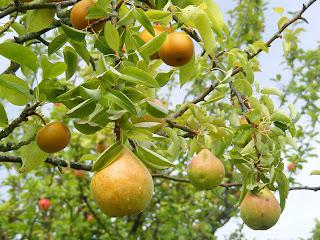 http://4.bp.blogspot.com/-ReCnep7QIp8/TjryWgNprNI/AAAAAAAAMts/3RiBaoOY-bY/s1600/pears.jpg